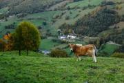 Vaca sobre Vegameoro