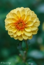 DAHLIA-GOLDEN-SCEPTER
