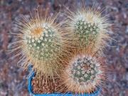 Mammillaria Magnifica