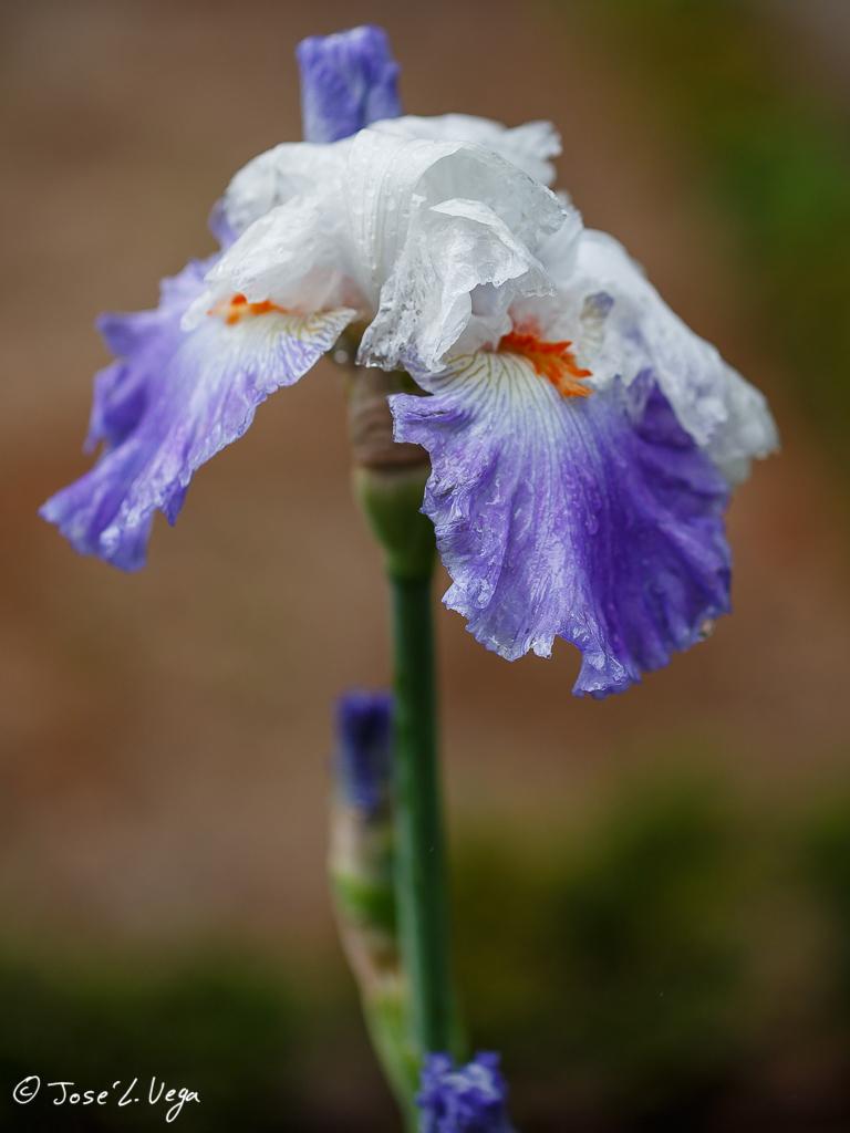 Iris parisien