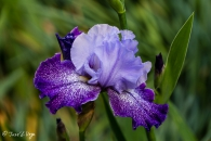 iris Splashacata
