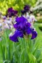 Iris Titan's Glory