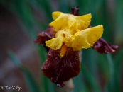 Iris Andalou