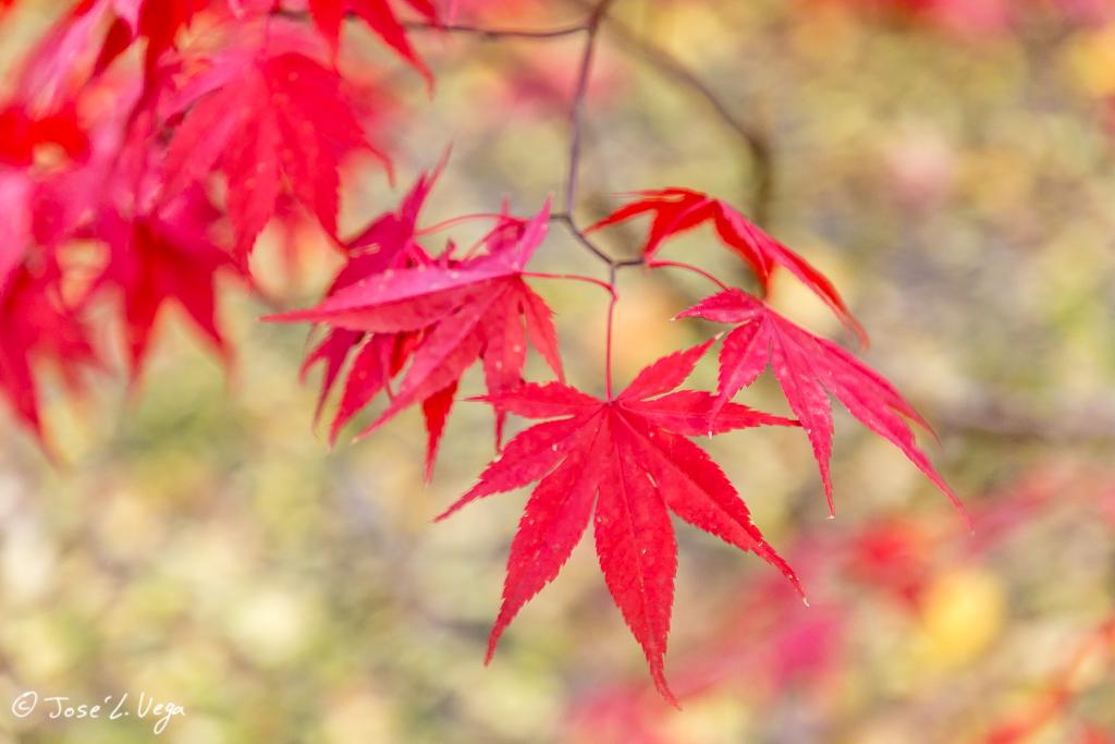 Acer palmatum blood good