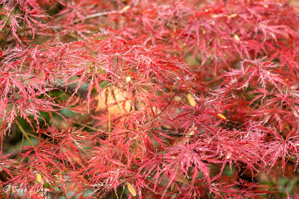 Acer palmatum, Inaba shidare