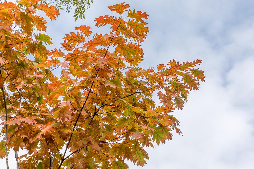Quercus rubra, roble rojo americano