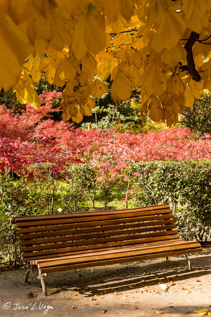 Acer palmatum, Osakazuki