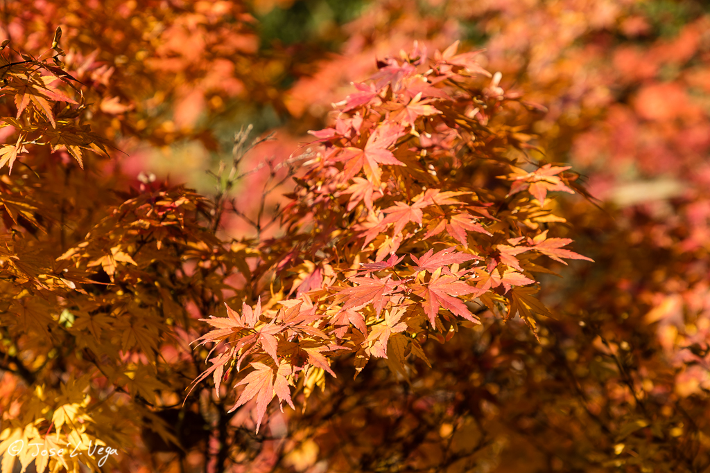 Acer palmatum, Butterfly