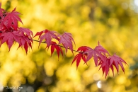 Acer palmatum blood good
