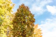 Quercus robur, Fastigiata