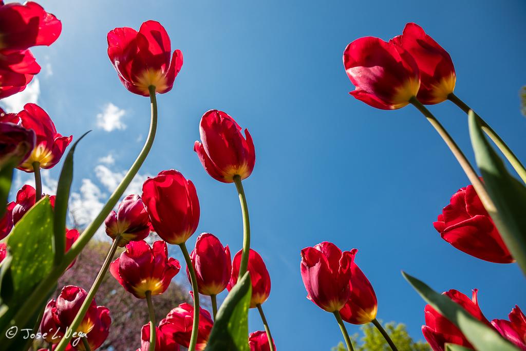 Tulipa Red Georgette
