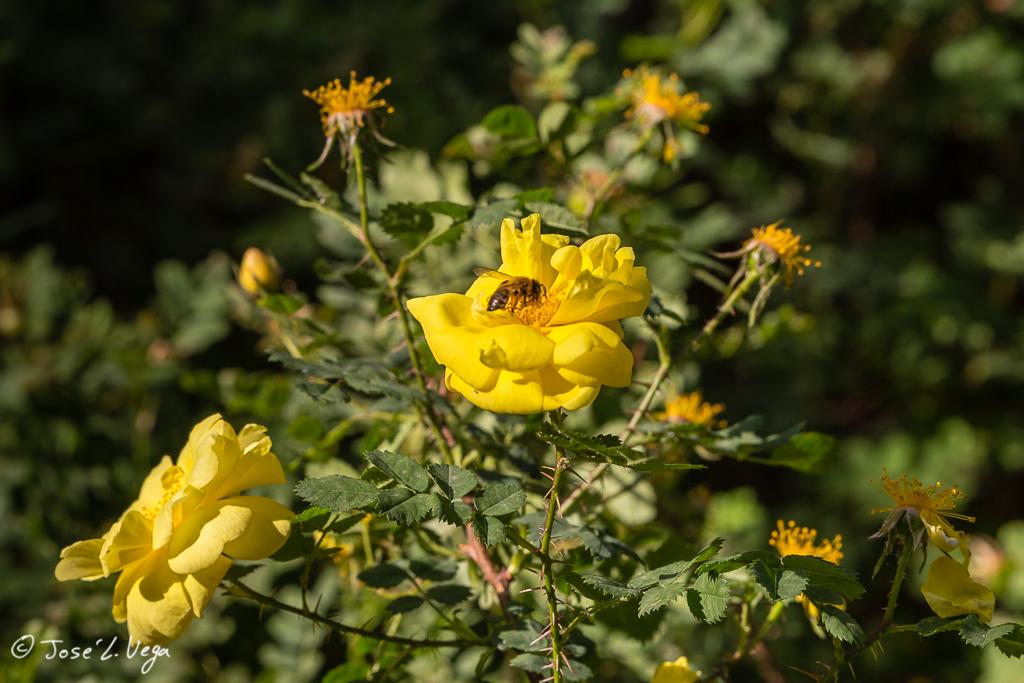 Rosa Pimpinellifolia
