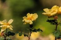 Rosa Double Yellow