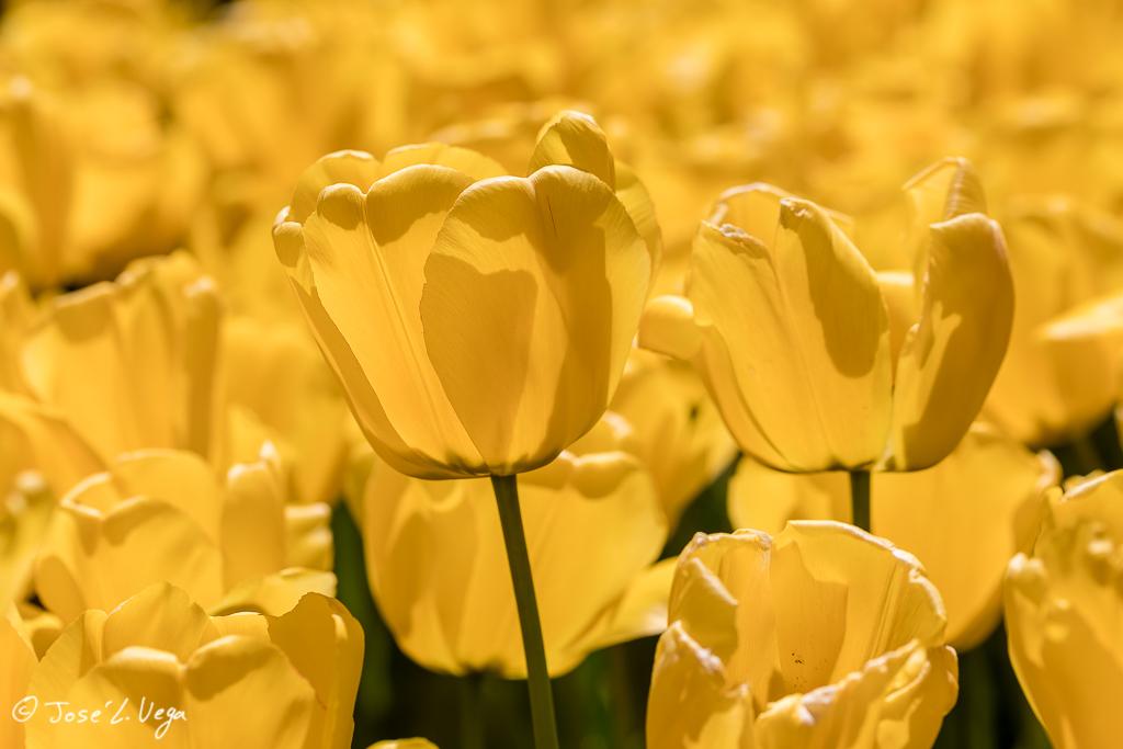 Tulipa Golden Apeldoorn
