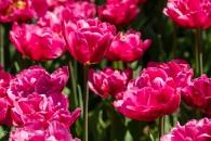 Tulipa Blue Amiable