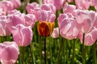 Tulipa Pink Diamond